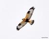 FSC_1635 Rough-legged Hawk Dec 27 2013