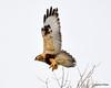 FSC_1630 Rough-legged Hawk Dec 27 2013
