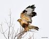 FSC_1629 Rough-legged Hawk Dec 27 2013