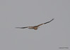 FSC_1633 Rough-legged Hawk Dec 27 2013