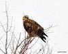 FSC_1625 Rough-legged Hawk Dec 27 2013