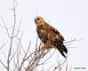 FSC_1627 Rough-legged Hawk Dec 27 2013