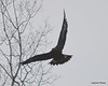 FSC_0763 Bald Eagles Dec 6 2013