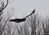 FSC_0761 Bald Eagles Dec 6 2013