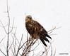 FSC_1624 Rough-legged Hawk Dec 27 2013