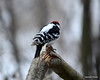 DSC_0882 Hairy Woodpecker Feb 2 2013