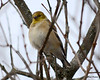DSC_0875 American Goldfinch Feb 2 2013
