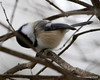 DSC_0868 Chickadee Feb 2 2013