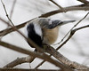 DSC_0869 Chickadee Feb 2 2013