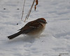 C_5726 American Tree Sparrow Jan 3 2013