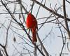 C_5737 Cardinal Jan 3 2012