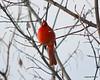C_5736 Cardinal Jan 3 2012