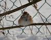 C_5727 American Tree Sparrow Jan 3 2013