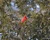 C_5729 Cardinal Jan 3 2012