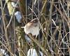 C_5720 American Tree Sparrow Jan 3 2013