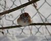 C_5728 American Tree Sparrow Jan 3 2013