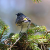 DSC_7481 Yellow-rumped Warbler May 1 2013