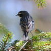 DSC_7480 Yellow-rumped Warbler May 1 2013