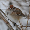 C_5850 American Tree Sparrow Jan 6 2013
