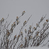 C_5761 Snow Bunting Jan 6 2013
