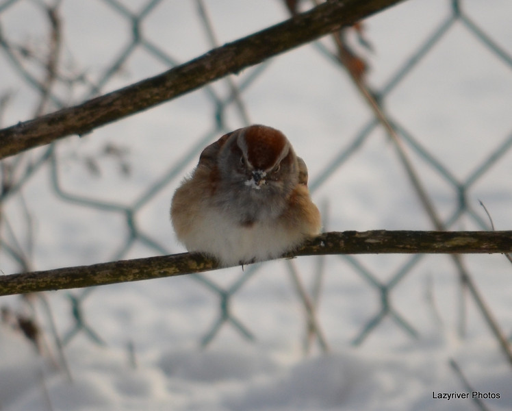 C_5728 American Tree Sparrow Jan 3 2013