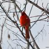 C_5738 Cardinal Jan 3 2012