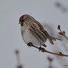 C_5825 Common Redpoll Jan 6 2013