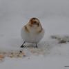 C_5780 Snow Bunting Jan 6 2013