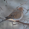 DSC_0004 Mourning Dove Jan 7 2013