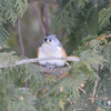 C_5754 Tufted Titmouse Jan 3 2013