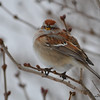 C_5853 American Tree Sparrow Jan 6 2013