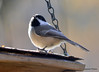 ESC_9942 Black-capped Chickadee Nov 3 2013