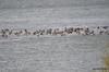 ESC_9939 Canada Geese Ducks Nov 1 2013