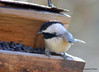 ESC_9944 Black-capped Chickadee Nov 3 2013