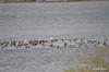 ESC_9938 Canada Geese Ducks Nov 1 2013