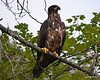 ESC_7782 Bald Eagle Sept 15 2013