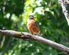 ESC_7266 American Robin Sept 1 2013