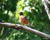 ESC_7265 American Robin Sept 1 2013