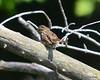 ESC_7248 Song Sparrow Sept 1 2013
