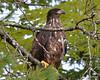 ESC_7781 Bald Eagle Sept 15 2013