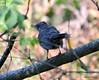 ESC_7259 Gray Catbird Sept 1 2013