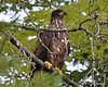 ESC_7779 Bald Eagle Sept 15 2013