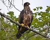 ESC_7783 Bald Eagle Sept 15 2013