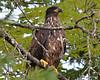ESC_7780 Bald Eagle Sept 15 2013