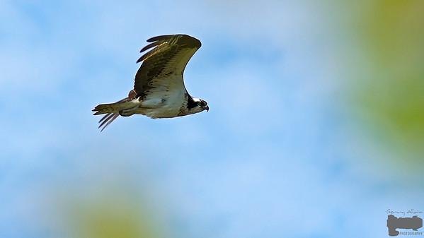 Barachois NB Osprey