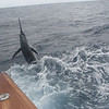 "Joy bell's blue marlin caught and released aboard ""Sea Toy""<br /> Submitted by Connie Thompson"
