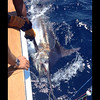 WEDNESDAY WINNER!<br /> A shot of the blue marlin released on Carolina Time, taken by Parker Jones.