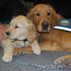 9-week-old Comfort Dog in Training - Isaiah with Comfort Dog Luther