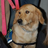 LCC K-9 Comfort Dog Ruthie ready for her second trip to Newtown, CT