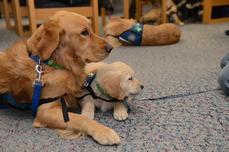 Comfort Dog Luther showing Comfort Dog in Training Isaiah how it's done